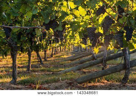 closeup of cabernet sauvignon grapes ripening in vineyard
