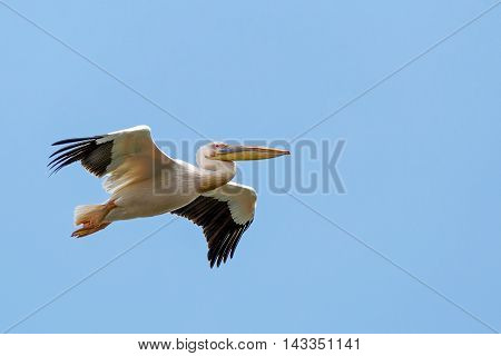 Close up photo of flying great white pelican
