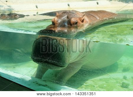 Animal and Wildlife Mostly Submerged Adult Hippopotamuses Amphibius River Hippo or River Horse with Exposed Eyes Ears and Nostrils in The Glass Cage Pool.
