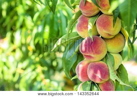 peach. Peaches on a tree Eco delicious peach