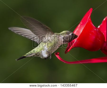 Close up of Ruby Throated Hummingbird (Archilochus colubris) female eating from feeder