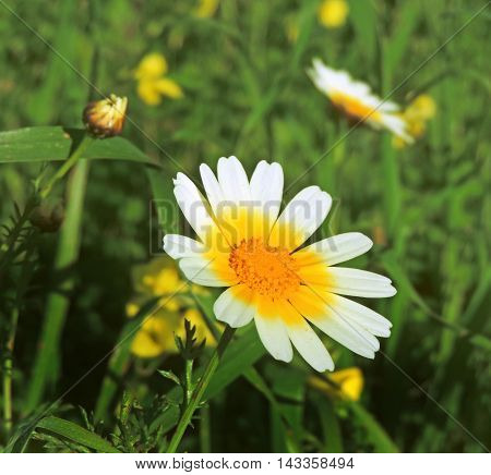Marguerites or daisy flowers on a flower field in springtime, copy space and selective focus.
