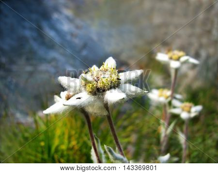Collection of mountain Altai plants. The Edelweiss.