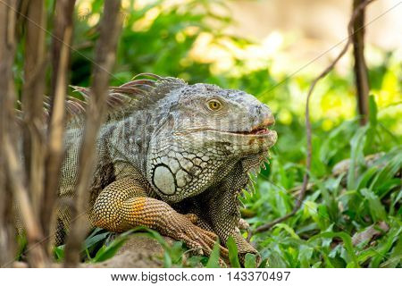 iguana lizard laying on the grass in the wild