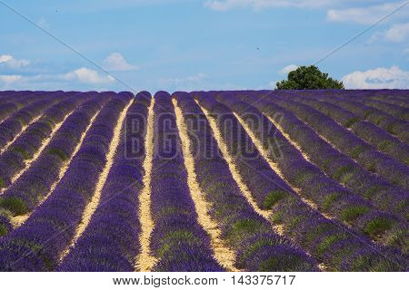 Stuning purple lavanda fields - Provence, France