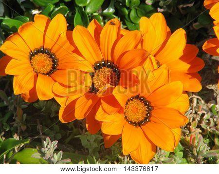 Wild Orange African Gazanias, Grow Along The West Coast Of South Africa