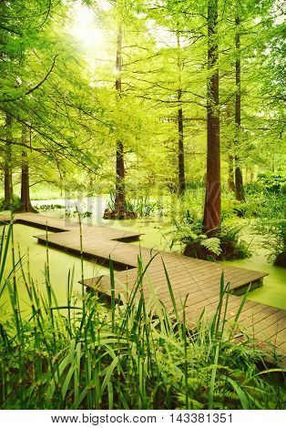 Wooden gangway or footpath through a cypress swamp.