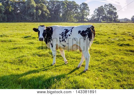 Curiously looking young black spotted cow standing in a fresh Dutch meadow in early morning backlight.