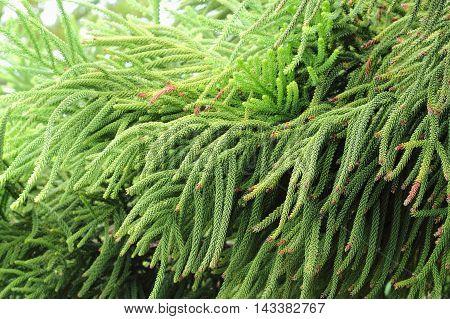 Selaginella Tamariscina. Green Leaves Of Plant In Asia.