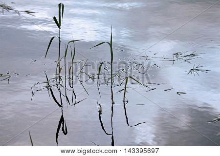 Nature background with coastal cane and lake water