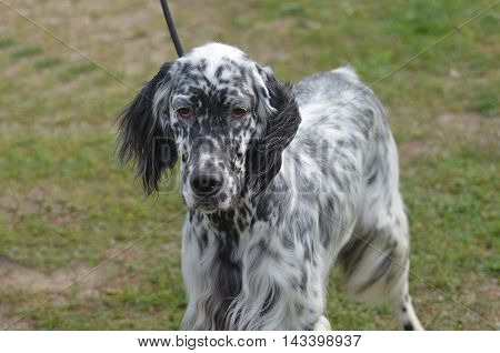 Loveable English setter dog with a super cute face.