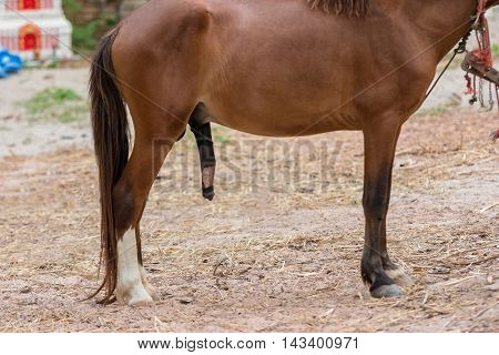 The penis of a horse with reproduction