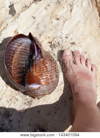 Large sea snail (Tonna galea or giant tun) on rock and human leg near in sun summer day. View from above.