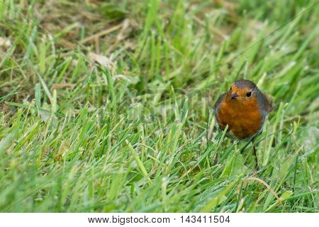 Robin bird Erithacus rubecula sitting on grass