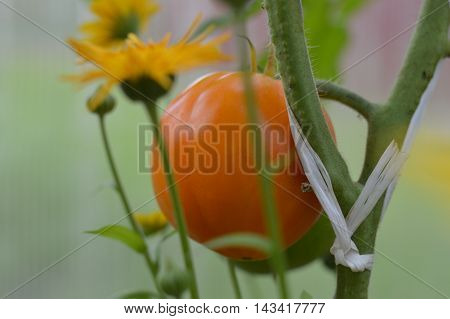 Beautiful orange tomato on a branch in a hothouse