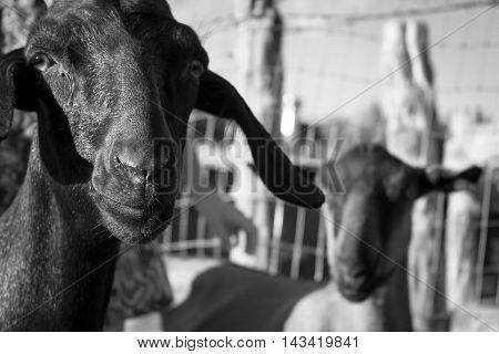 Black goat next to white goat in black and white