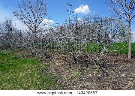 Shining sumac bushes (Rhus copallina)--also called winged sumac,dwarf sumac or flameleaf sumac--during April in Joliet, Illinois.