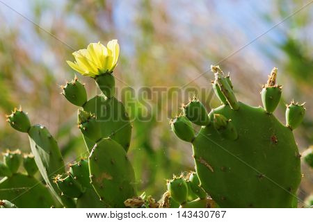 Opuntia Cactus With Yellow Flower