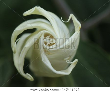 Close up photo of a furled up white lily.