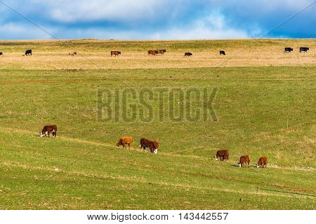 Cows grazing green grass on farm paddock pasture against blue sky on the background. Rural agriculture scene with cattle. Australian outback landscape on sunny day. Copy space