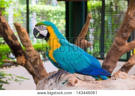 Blue-and-yellow macaw (Ara ararauna) also known as the Blue-and-gold macaw on wood log.