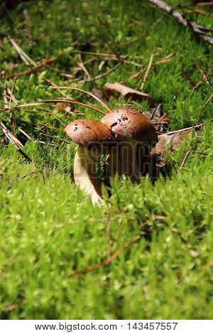 Mushroom bay bolete Imleria badia or Boletus badius in the forest