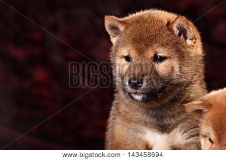 dog breed Shiba Inu puppy in red studio