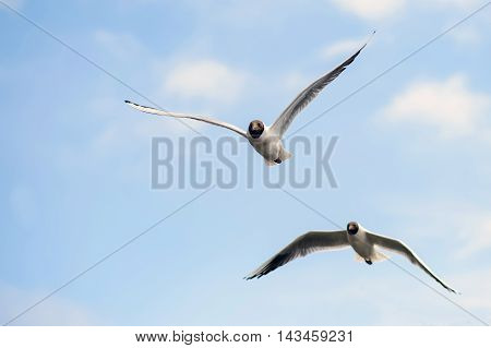 Pair of Seagulls soar in the blue sky. Seagulls flying high in the clouds. Free wild birds seagulls with the black heads.