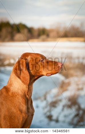 A profile shot of a Vizsla dog (Hungarian pointer) in a snowy field in winter. poster