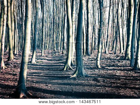 Winter forest with tree trunks and trodden footpath.