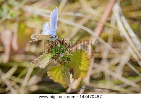 Common Blue Or Polyommatus Icarus Butterfly