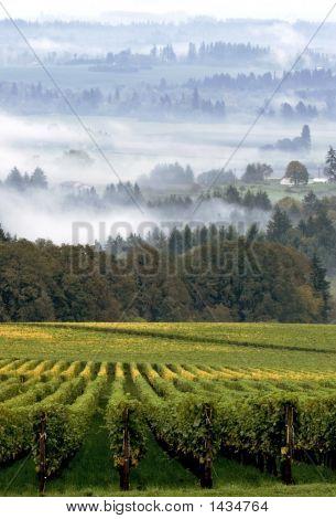 Vinyard In Dundee Oregon