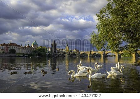 Beautiful view on the Charles bridge on Vltava river with white swans in the front. Gothic bridge with baroque statues.
