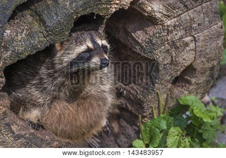 Close up on a raccoon (scientific called Procyon lotor), view from the  side. Picture taken in the Pforzheim Wild Park, Germany.
