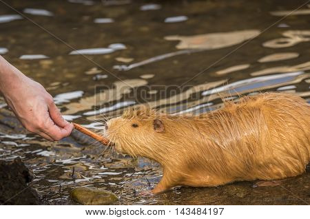 Man's hand feeding a Coypu, orange river rat, eating a piece of carrot from a man's hand. on the shore of the river Vltava, in Prague, Czech Republic.