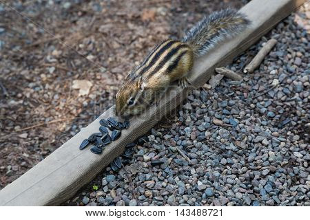 chipmunk is approaching sunflower seeds scattered on the wooden bar