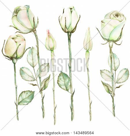 An illustration with the beautiful watercolor tender sepia roses painted on a white background