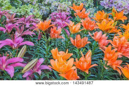 Lilly Flower In The Garden