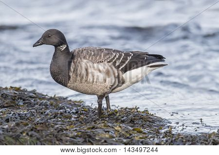 Brent Goose By The Sea, Close Up