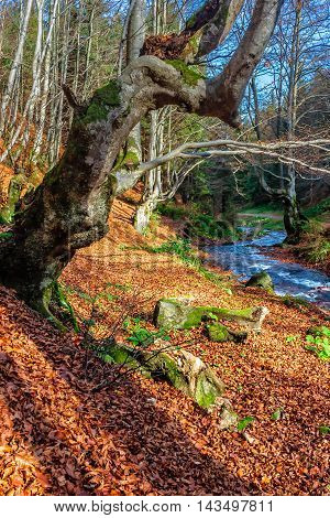 Mountain stream flows among the stones through autumn forest with some moss on the trees and orange foliage on the ground
