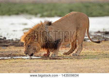 Big male African lion (Panthera leo) drinking water, Etosha National Park, Namibia
