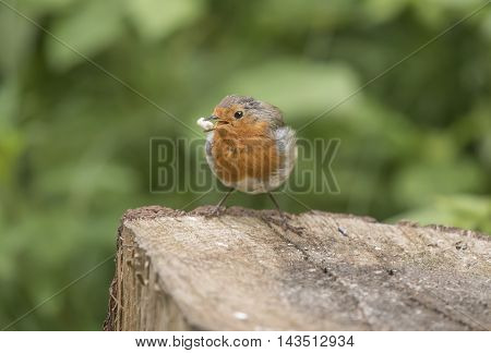 Robin Redbreast, Perched On A Tree Trunk