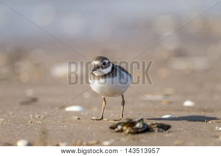 Ringed Plover Standing On The Beach, Close Up