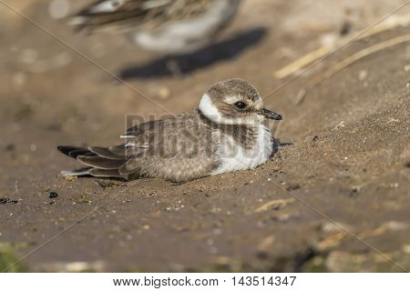 Ringed plover sitting in the sand on a beach