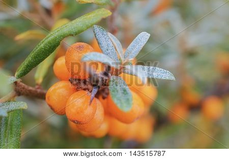 Branch of sea-buckthorn close-up on a background of a bush of sea-buckthorn.