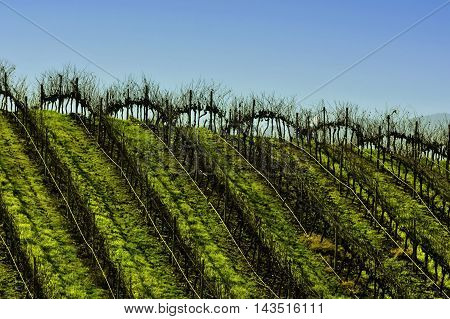 A vineyard in Tapihue, Casablanca valley, Chile