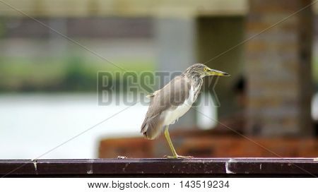 A Bird Standing On One Leg, The Leg One Beside It Keep Attach To The Body.