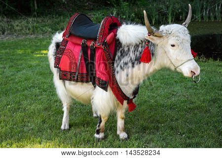 Yak white domestic (Bos grunniens) is an animal kind of bulls of bovids. Tibetan ox, or grunting ox. The birthplace of the Yak - Tibet. Operated bull as a pack and meat animal. Used as Yak milk.