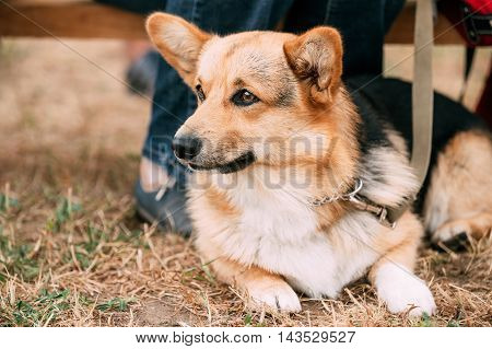 Close Up Portrait Of Young Welsh Corgi Dog In Dry Grass Outdoor. The Welsh Corgi Is A Small Type Of Herding Dog That Originated In Wales