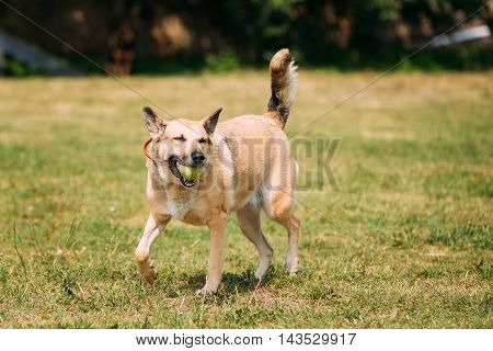 Full-Length Medium Size Mongrel Mixed Breed Short-Haired Yellow Golden Adult Female Dog With A Small Ball In Jaws Playing On Trimmed Sunny Lawn.